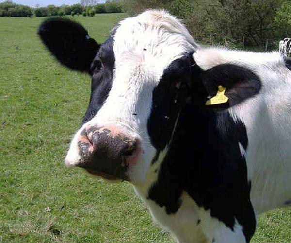 Milking Time 2