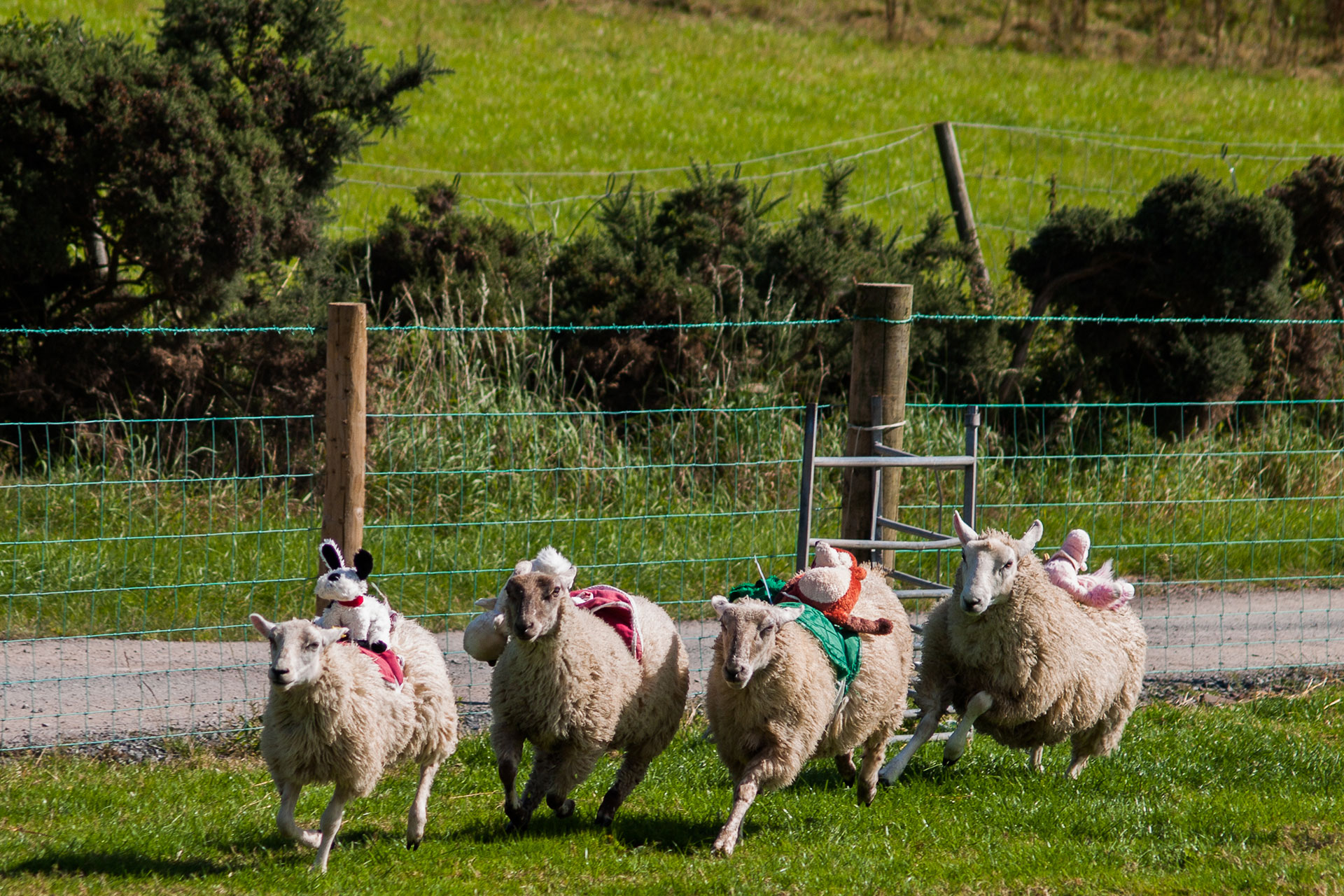 Sheep-Race