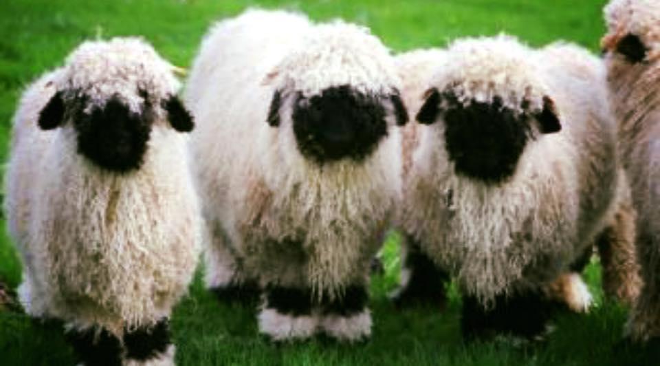 Blacknose Sheep Streamvale Open Farm